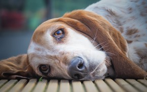 Picture look, face, dog, The Basset hound