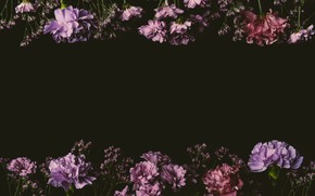 Picture flowers, roses, colorful, pink, black background, black, pink, flowers, background, lilac, roses, violet, clove