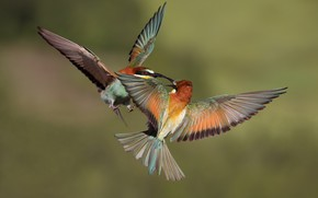 Picture flight, birds, background, bird, two, wings, pair, bee-eaters, European bee-eater, aerial dance