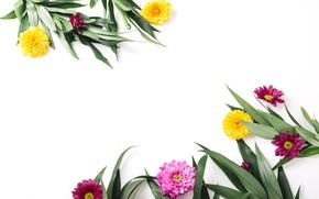 Picture greens, leaves, flowers, chrysanthemum