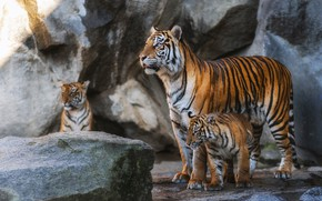 Picture stones, tigers, tigress, the cubs, tiger, mother