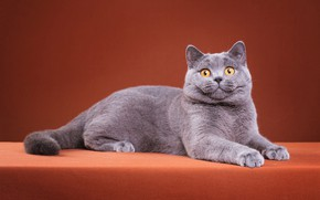 Picture cat, cat, look, pose, kitty, grey, paws, muzzle, cute, lies, kitty, orange background, the expression, …