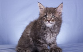 Picture cat, look, pose, kitty, grey, muzzle, sitting, blue background, Maine Coon, Studio