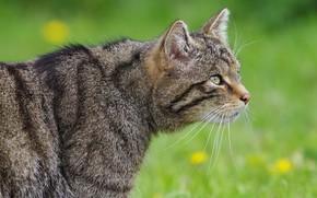 Picture cat, cat, grey, glade, profile, striped, wild, forest, wild cat