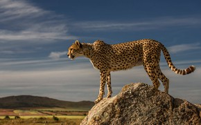 Picture look, clouds, light, pose, hills, stone, Cheetah, profile, is, wild cat, blue sky