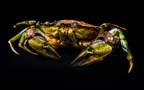Picture yellow, green, crab, black background, crab, claws