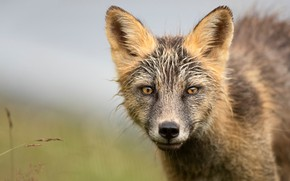 Picture look, face, background, portrait, Fox, grey, wet wool