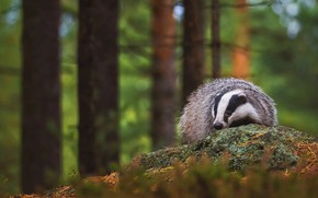 Picture forest, trees, branches, pose, background, trunks, vegetation, stone, nose, face, badger