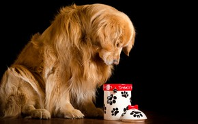 Picture red, Bank, cover, black background, sitting, Golden, on the floor, sad, dog, Retriever