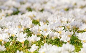 Picture flowers, spring, crocuses, weed, flowering