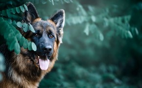 Picture face, leaves, nature, animal, dog, dog, shepherd