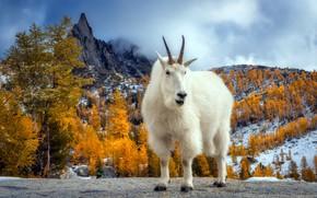 Picture autumn, mountains, goat, Presic Peak