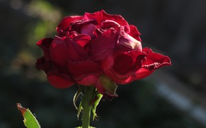 Picture flower, red, Rose, bokeh