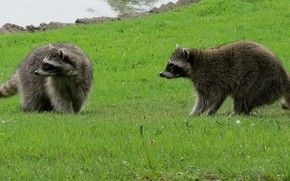 Picture grass, two, raccoons