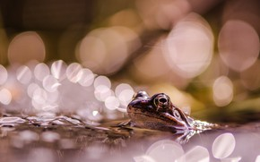 Picture eyes, look, water, macro, light, glare, pond, background, frog, pond, swimming, bokeh, Peeps, out of …