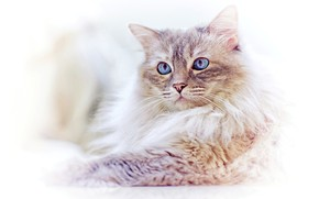 Picture cat, look, muzzle, blue eyes, light background, Ragdoll