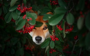 Picture face, branches, berries, foliage, portrait, dog, fruit, Rowan, Peeps, Shiba inu, Shiba