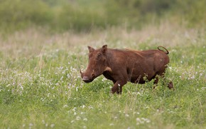 Picture grass, nature, glade, fangs, walk, boar, lawn, hog, warthog