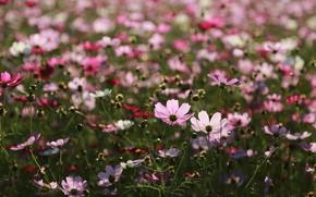 Picture summer, flowers, clearing, flowering, Kosmeya