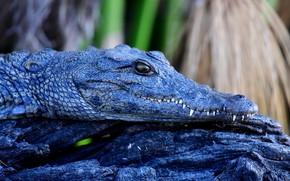 Picture look, face, blue, crocodile, log, reptile