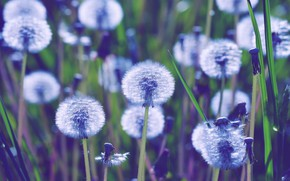 Picture summer, fluffy, dandelions