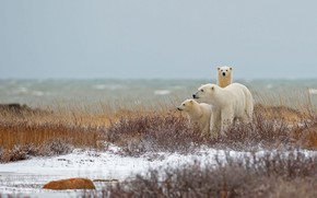Picture family, Canada, polar bear, Manitoba