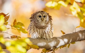 Picture autumn, owl, bird, yellow leaves, branch