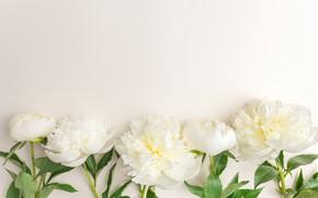 Picture flowers, white, white, flowers, beautiful, peonies, peonies