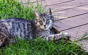 Picture cat, summer, grass, cat, look, face, nature, pose, grey, stay, paws, garden, track, lies, striped, …