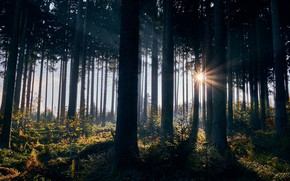Picture autumn, forest, the sun, rays, light, trees, fog, thickets, trunks, pine, fern, Bor, pine