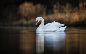 Picture lake, bird, Swan, bokeh
