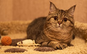 Picture cat, cat, look, comfort, toy, mouse, lies, Mat, grey, face, striped