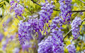 Picture greens, flowers, branches, nature, background, foliage, color, beauty, spring, contrast, flowering, cascade, lilac, beautiful, inflorescence, …
