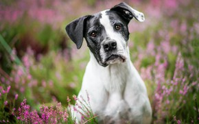 Picture look, face, flowers, nature, black and white, portrait, dog, pink, blurred background, brown-eyed, spotted, Heather