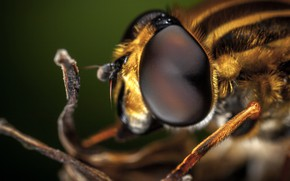 Picture Macro, Bee, Eyes, Beautiful, Insect, Macro, Insect, Bee, Close-Up, Egor Kamelev, by Egor Kamelev