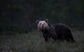 Picture forest, pose, the dark background, glade, bear, bear, cotton, walk, brown