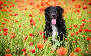 Picture field, language, summer, look, face, flowers, nature, pose, Maki, portrait, dog, positive, red, black, walk, …