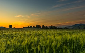 Picture rye field, rye, cereals, the sky, ears