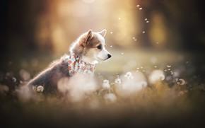 Picture dog, puppy, dandelions, face, fuzzes, bokeh