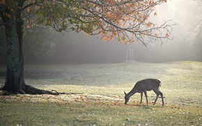 Picture autumn, branches, fog, Park, tree, foliage, deer, morning, ROE, grazing