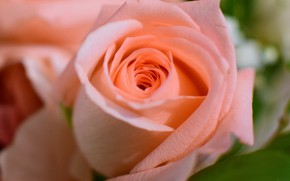 Picture pink, rose, Bud