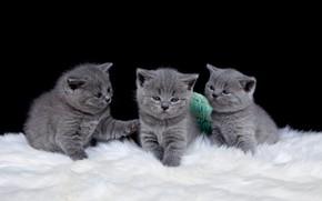 Picture cats, kittens, three, black background, kids, trio, the British, three kittens, British, Trinity, baby, smalls
