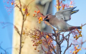 Picture branches, berries, tree, bird, wings, fruit, stroke, Rowan, blue background, the Waxwing
