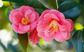Picture leaves, macro, pink, petals, Camellia
