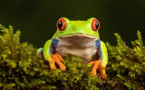 Picture greens, look, macro, the dark background, moss, frog, portrait, green, red-eyed tree frog