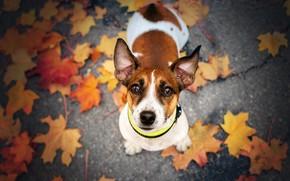 Picture autumn, look, dog, face, fallen leaves, Jack Russell Terrier, Ekaterina Kikot