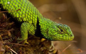 Picture look, pose, background, moss, legs, scales, lizard, green, reptile