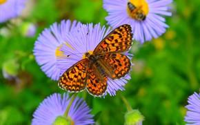 Picture Macro, Butterfly, Macro, Butterfly, Purple flowers