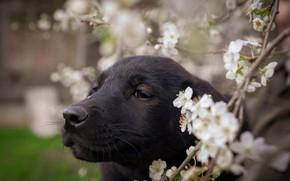 Picture look, flowers, black, portrait, dog, blur, branch, spring, puppy, black, flowering, bokeh