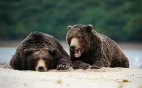 Picture predator, Alaska, brown bear